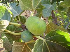 Ficazzana Green Fig Tree